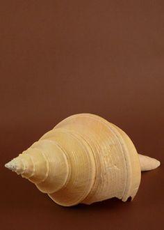 Australian Trumpet Seashell Beach Destination Wedding Decor Summer. More shells