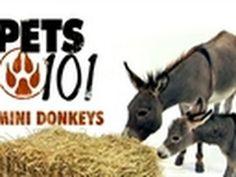 Pets 101- Mini Donkeys :::::::::::: #cute, #funny