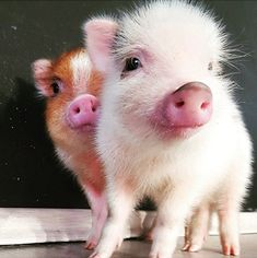 Friends who want to have a pet can consider raising a pet pig - Page 22 of 29 - Gloria Love Pets Cute Baby Pigs, Cute Piglets, Cute Babies, Micro Piglets, Cute Funny Animals, Cute Baby Animals, Farm Animals, Teacup Pigs, Funny Pigs