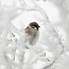 arcanja:    tree sparrow (passer montanus) (by m. geven)