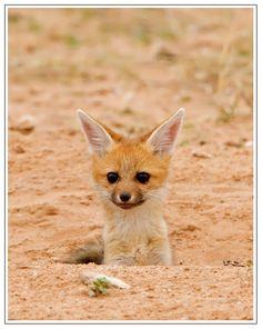 Cape Fox Cub by Hendri Venter on 500px*