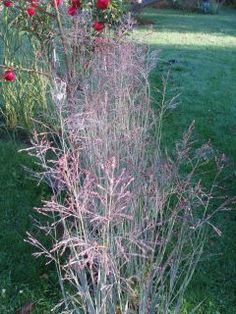 En speciel, smuk græs, med sit blågrønne løv, som i efteråret kan blive violet.  Bladene er oprette, strittende og bliver ca. 1 meter.  Aksene, som er meget lette og luftige, er ca. 130 cm og kommer i august.  Denne græs er let at styre i blomsterbeddet, fordi den vokser langsomt.  Staudehirse trives i alm. havejord, men er lidt længe om at komme igang om foråret, fordi den ynder varme.