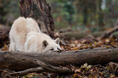 Arktischer Wolf by CROW1973, via Flickr