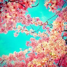 Cherry Blossoms by jules1836, via Flickr