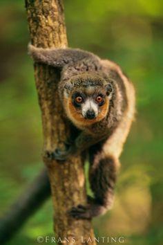 Frans Lanting - Mongoose lemur, Eulemur mongoz, Madagascar