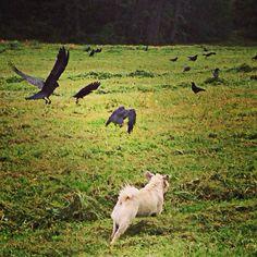 The Crow, flightshow Training