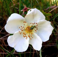 duinroos (Rosa pimpinellifolia)