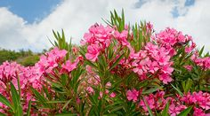 "Discover the incredible story of oleander extract for cancer -- a traditional cancer ""cure"" used by Turkish villagers."