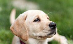 Future guide dog for someone with dementia. So precious