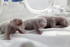 """Sensation: Ein chinesischer Zoo hat die ersten überlebenden Panda-Drillinge der Weltöffentlichkeit präsentiert. Die Geburt der drei Pandabären komme einem """"Wunder"""" gleich, teilte der Chimelong Safari Park in Kanton mit. Mehr Bilder des Tages auf: http://www.nachrichten.at/nachrichten/bilder_des_tages/cme10133,1121123 (Bild: Reuters)"""