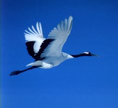 Loons And Turtles And Cranes Oh My >> 33 Best Whooping Cranes Sandhill Cranes And More Images Crane