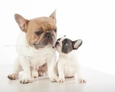 """Have I told you lately, that I love you?"", French Bulldog and adoring Puppy. Cute Puppies, Cute Dogs, Dogs And Puppies, Doggies, Animals And Pets, Baby Animals, Cute Animals, French Bulldog Puppies, French Bulldogs"