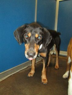 This fellow is a black and tan coonhound mix with a bobbed tail ••• ID Cage 26 Dec 11 b  ••• Greenville Animal Control Shelter #Greenville #TEXAS