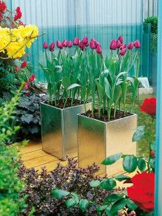 Spring Tulips in Galvanized Containers