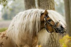 Prachtige Haflinger !!! I know this stallion, no joke!! He is absolutly beautiful, oh my goodness