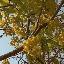 Ochna pulchra - Google Search Trees To Plant, Shrubs, Fruit, Google Search, Plants, Planters, Plant, Planting