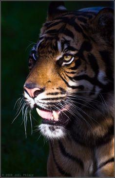 Sumatran Tiger 22-118 by lomoboy.deviantart.com on @DeviantArt