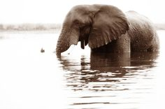 """Elephant in Water VI"" African Fine Art Photography, Elephants Elephant Love, African Elephant, Elephants, Fine Art Photography, Art Projects, Water, Animals, Water Water, Animales"