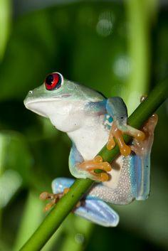 Red-eyed tree frogbyA.J. Haverkamp