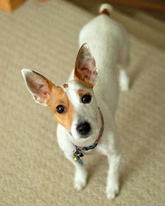 Snowbie the Jack Russell Terrier