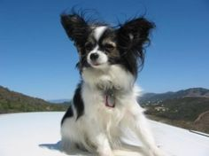 Papillon  Minimal shedding, gentle, social, needs some excercise