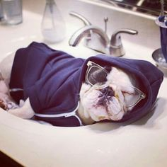 'Manny' the French Bulldog passed out in the sink. Cute Puppies, Cute Dogs, French Bulldog Puppies, French Bulldogs, English Bulldogs, Carlin, Small Breed, Funny Animal Pictures, Mans Best Friend