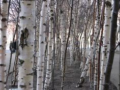 birch tree  | Young birch trees at the Tate Modern