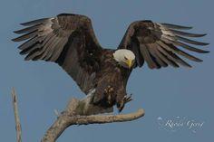 Eagles, Bald Eagle, Hawaii, Tattoo Designs, Bird, Wall Art, Tattoos, Artwork, Ideas
