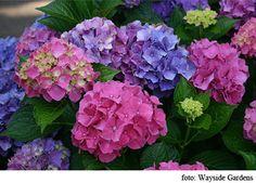 hortensias de colores buscar con google
