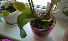 Чем лечить Орхидею? Вредители орхидеи, способы лечения. Обсуждение на LiveInternet - Российский Сервис Онлайн-Дневников
