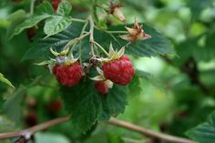 Raspberry - Benefits, Uses and Side Effects
