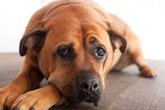 What you need to know about the side effects of probiotics in dogs: why they occur and how to distinguish between normal and abnormal side effects Side Effects Of Probiotics, Probiotics For Dogs, Dog Rules, Hardwood Floor, Homemade Food, Sad, Happiness, Pets, Bonheur