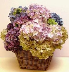 drying hydrangea blooms natural or with silica gel flower-pow Hydrangea Not Blooming, Hydrangea Garden, Dried Flower Arrangements, Dried Flowers, Deco Floral, Floral Design, My Flower, Flower Power, Bouquet D'hortensia
