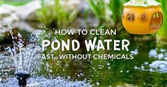 Is your garden pond water murky like pea soup instead of sparkling, clear the way it should be? I came up with this simple, fast method for clean pond water without draining it. pond How to Clean Gross Murky Pond Water Fast—without Chemicals