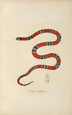 False coral snake. Abbildungen zur Naturgeschichte Brasiliens. Prince Maximilen de Wied-Neuwied. 1822.