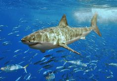 Dive with a Great White Shark - Bucket List Dream from TripBucket