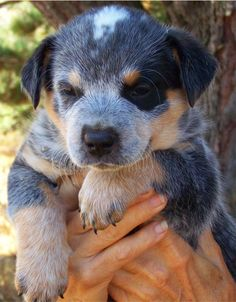 Blue Heeler Puppies For Sale - Blue Heeler Dog Breeders I Love Dogs, Puppy Love, Dog Breeders, Blue Heelers, Cattle Dogs, Boarders, Australian Cattle Dog, Puppies For Sale, Cute Baby Animals