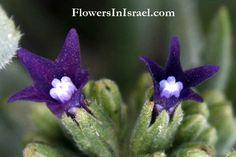 Anchusa, αγχουσα, a plant used for cosmetic as a rouge. undulata, waved, wavy; wavy-margined, wavy-leaved, wavy edged. hybrida, mongrel, hybrid.