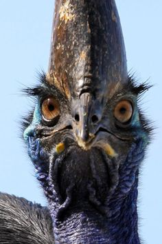 Don't get too close to a Southern Cassowary (Casuarius casuarius), the world's largest forest bird that cannot even fly! Photo by Andy Ratter, Queensland, Australia.