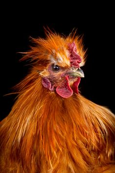 Carl-Gustav, a rooster, Kenneth Bamberg photography, from series Cocks Hobby Farms, Farm Life, Colour Images, Beautiful Birds, Rooster, Photography, Animals, Art Ideas, Pandora