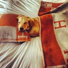 Splendid!: Love this sleeping doglet with orange Hermes blankets.... Soooper! AJ
