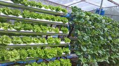Chắc hẳn bạn đã nghe qua về kỹ thuật trồng cây trong dung dịch dinh dưỡng thủy canh? Đây là phương pháp trồng cây mới, không cần đất trồng nhưng cây vẫn sinh trưởng và phát triển tốt, vì thế nhiều người sống ở thành phố áp dụng một cách tiện lợi.  Để giúp bạn sử dụng dung dịch dinh dưỡng thủy... https://dinhduong.online/dung-dich-dinh-duong-thuy-canh-va-nhung-dieu-can-biet.html