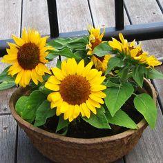 Mini Yellow Sunflower Flower Seeds Organic non GMO  Origin: North America Plant height: 30-40 cm Germination time: 6-8 days Maturation time: 70-80