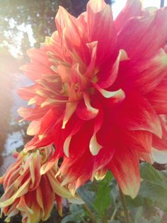 Dahlias come in so many colors, all beautiful as I am concerned. This one looks awesome with it's yellow tips at sunset.