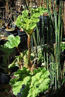 Dekorativer winterharter Schachelhalm für Haus und Garten. Bamboo, Herbs, Plants, Shade Plants Container, Shade Plants