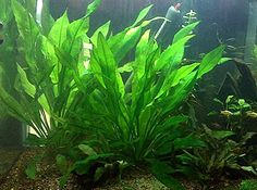 Do you really want to purchase top aquatic plants right now?Aqurazon Company can provide you the required water plants at very cheapest rates. for the same purpose, you can browse the official website of the same company without asking anyone else.