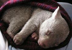 Sleepy wombat