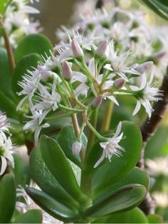 Jade Plant for Good Luck, Prosperity and Friendship | World of Succulents | Succulents | Scoop.it
