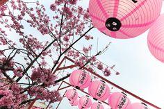 Cingjing Farm, 大同村, Taiwan Province, Taiwan Cherry Blossoms, Solo Travel, Farm Animals, Taiwan, Lanterns, Flowers, Cherry Blossom, Japanese Cherry Blossoms, Lamps