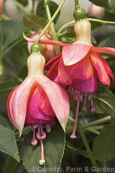 Fuchsia 'Dancing Flame', a double-flowered hybrid introduced in 1981 by Stubbs of the United States. It is a rather lax upright bush that can be trained as a trailer or weeping standard. The mid- to late-season flowers are large and fully double but the early bloom may be smaller and only semi-double.